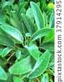lamb's ear, herb, herbal 37914295