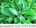 lamb's ear, herb, herbal 37914296