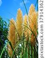 cortaderia selloana, pampas grass, foliage 37914362