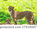 獵豹 動物 貓科 37916087