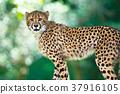 치타, 동물, 포유류 37916105