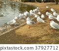 紅嘴鷗 白色 候鳥 37927712