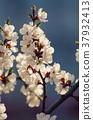 Apricot tree flower 37932413