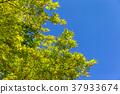 楓樹 紅楓 楓葉 37933674