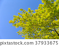 楓樹 紅楓 楓葉 37933675