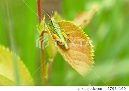 蚱蜢的幼虫 37934169