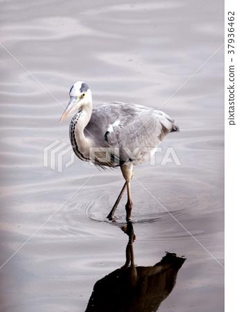 蒼鷺 鳥兒 鳥 37936462