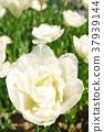 튤립, 꽃, 플라워 37939144