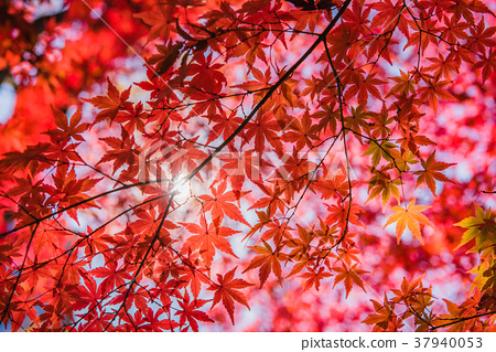 Fall of autumn leaves, bright red maple, autumn scenery, autumn leaves of garden, autumn leaves of great garden, beautiful autumn leaves, autumn leaves that feel sum 37940053
