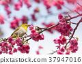 櫻花盛開 櫻桃樹 櫻花 37947016
