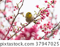 櫻花盛開 櫻桃樹 櫻花 37947025