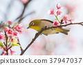 櫻花盛開 櫻桃樹 櫻花 37947037