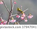 櫻花盛開 櫻桃樹 櫻花 37947041