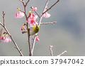 櫻花盛開 櫻桃樹 櫻花 37947042