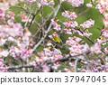 櫻花盛開 櫻桃樹 櫻花 37947045