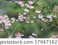櫻花盛開 櫻桃樹 櫻花 37947162