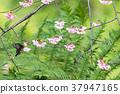 櫻花盛開 櫻桃樹 櫻花 37947165