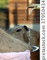 水豚 溫泉 動物 37950434