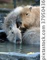 水豚 動物園 熱鋅浴 37950436