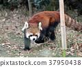 대형, 동물원, 팬더 37950438