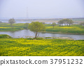 유채밭, 강, 봄꽃 37951232
