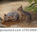 mara, cavy family, caviidae 37953069