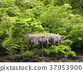 early summer, green leaves, fresh verdure 37953906