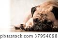 cute pug dog sleeping on wooden floor at home. 37954098