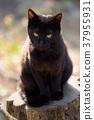 그루터기 위에 검은 고양이 37955931