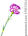 Flower of the carnation 37957251