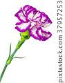 Flower of the carnation 37957253