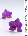 Flower orchids 37957320