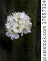 Group plum blossoms 37957324