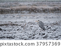 wild, bird, snow 37957369