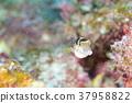 河豚 河豚鱼 水下照片 37958822