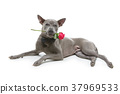 dog in bowtie holding rose in mouth 37969533