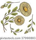 chamomile, herb, daisy 37990883