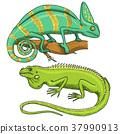 Chameleon Lizard, American green iguana, reptiles 37990913
