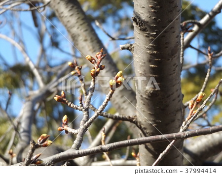 kawazu cherry blossoms, kawaji sakura, bud 37994414