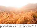 Grass field at sunset or sunrise, grass flowers 37996711