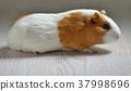 Small cute guinea pig isolated 37998696