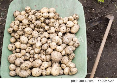 土豆 馬鈴薯 蔬菜 38004327