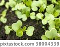 ผักกวางตุ้งญี่ปุ่น,ดอกตูม,หญ้าอ่อน 38004339