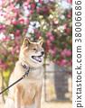 หมาชิบะ,สุนัข,สุนัช 38006686