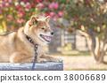 หมาชิบะ,สุนัข,สุนัช 38006689