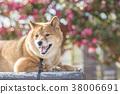 หมาชิบะ,สุนัข,สุนัช 38006691