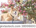 หมาชิบะ,สุนัข,สุนัช 38006693