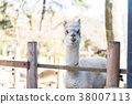 อัลพาก้า,สัตว์,ภาพวาดมือ สัตว์ 38007113