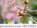 벚꽃 봉오리 38010662