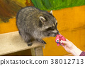 Raccoon sidiitis on hind legs close up 38012713